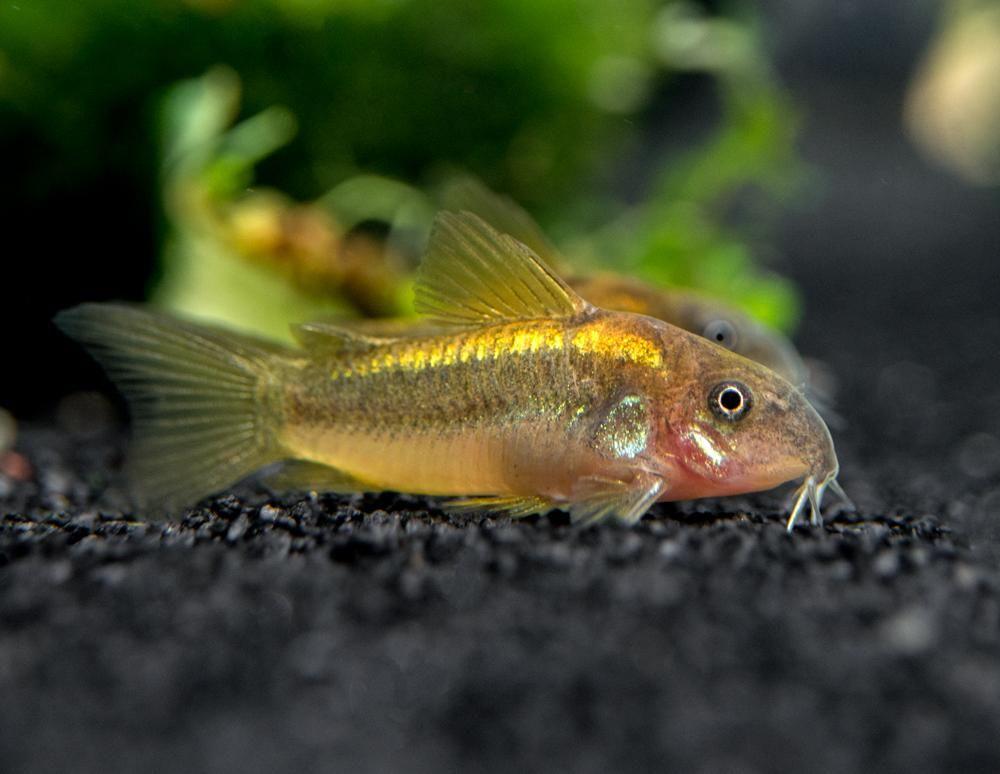 Gold Stripe Aka Gold Laser Cory Catfish Corydoras Sp Cw010 Tank Bred In 2020 Cory Catfish Nano Aquarium Freshwater Aquarium
