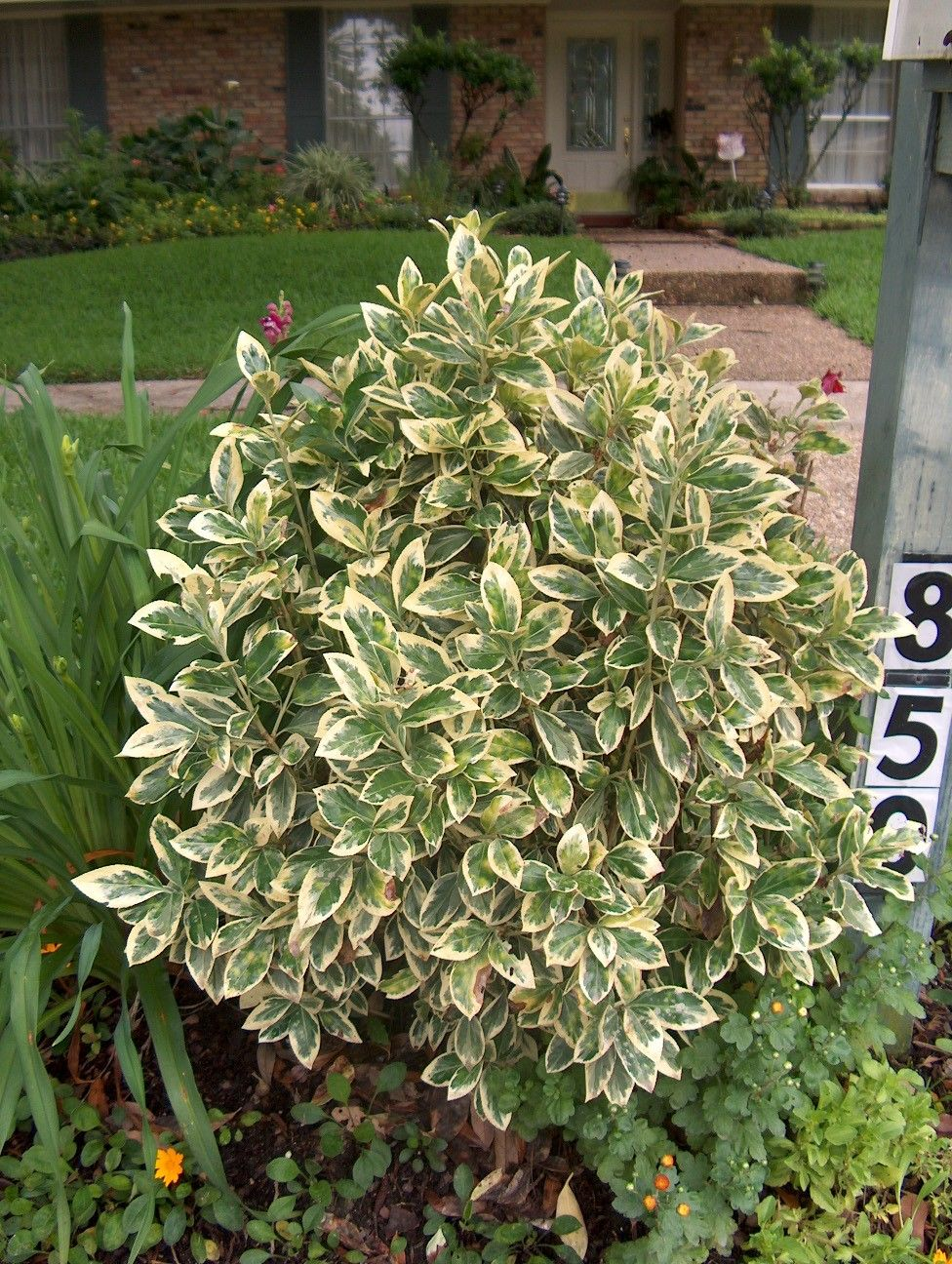 Picture of Live Evergreen Euonymus aka Euonymus jap. 'Silver Queen' Std Plant Fit 5 Gallon Pot