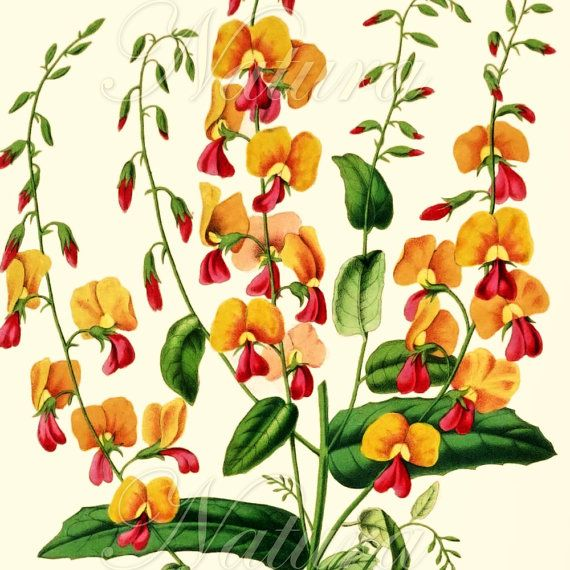 vintage orange botanical print