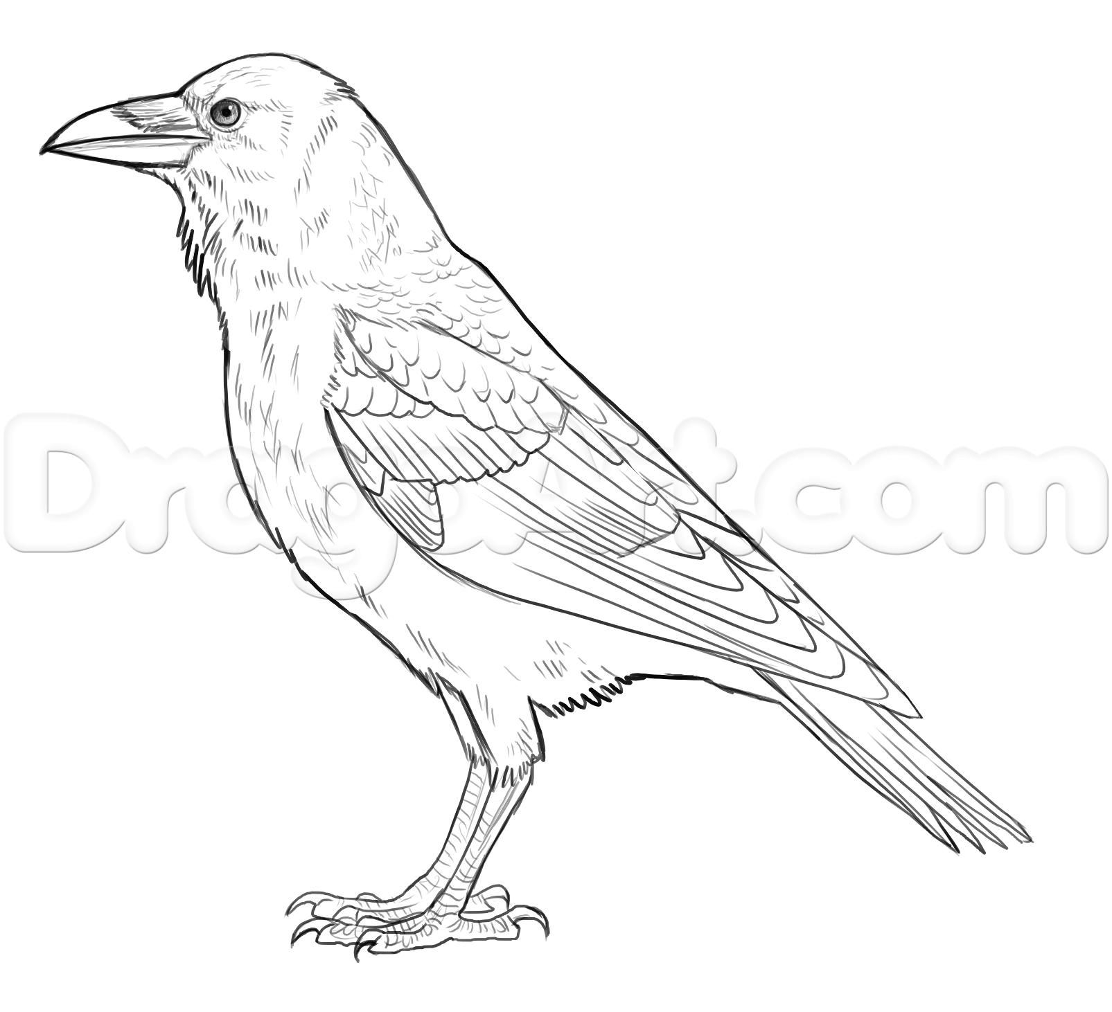 Line Drawing Of Animals And Birds : How to draw ravens step by birds animals free