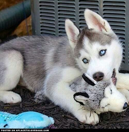 Husky Puppy With Toy Cuccioli Di Husky Cuccioli Di Collie