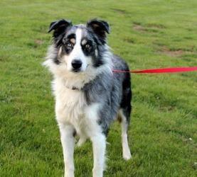 Adopt Zeek On Australian Shepherd Dogs Australian Shepherd Dogs