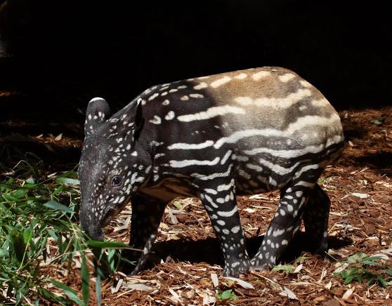 Tapirs Help Reforestation Via Defecation We All Deserve Better Tapir Animal Behavior Woodland Park Zoo