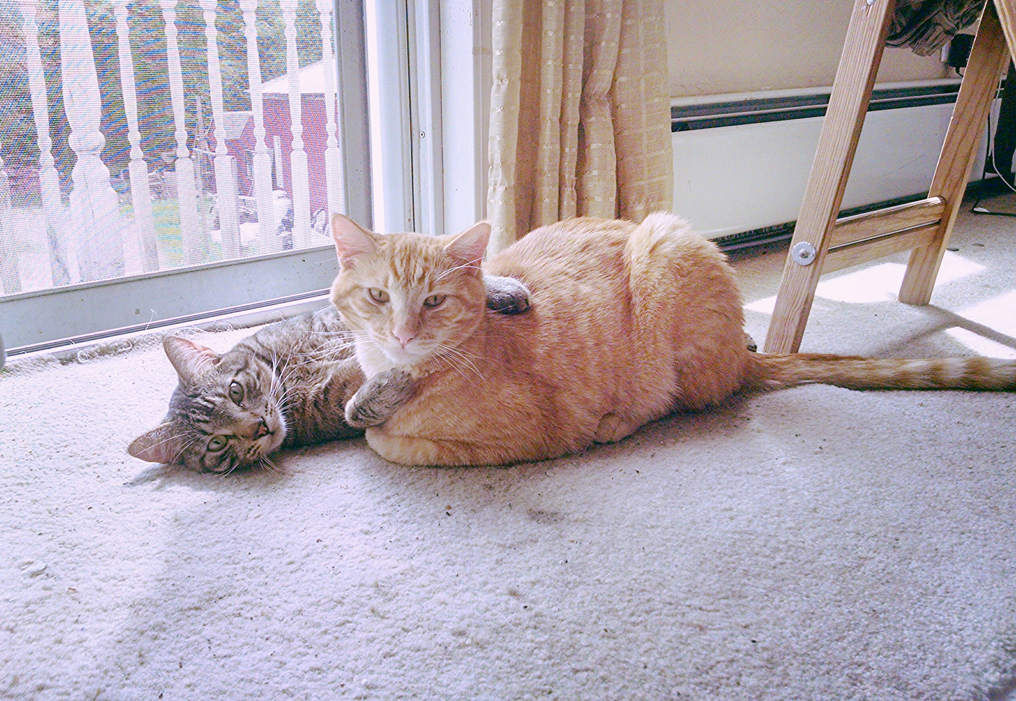 My kitty brothers Berlioz and Toulouse!