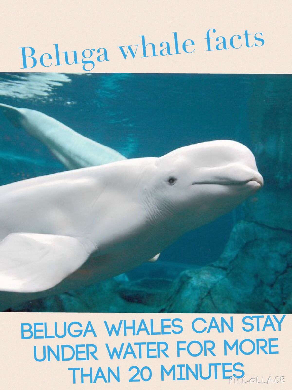 Beluga whale facts #3 | Beluga whale project | Pinterest | Whale facts