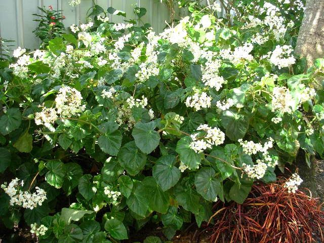 White Angel Begonia Is A Perennial Sub Shrub Growing To About 3 Tall With An Shade Plants Shrubs Begonia