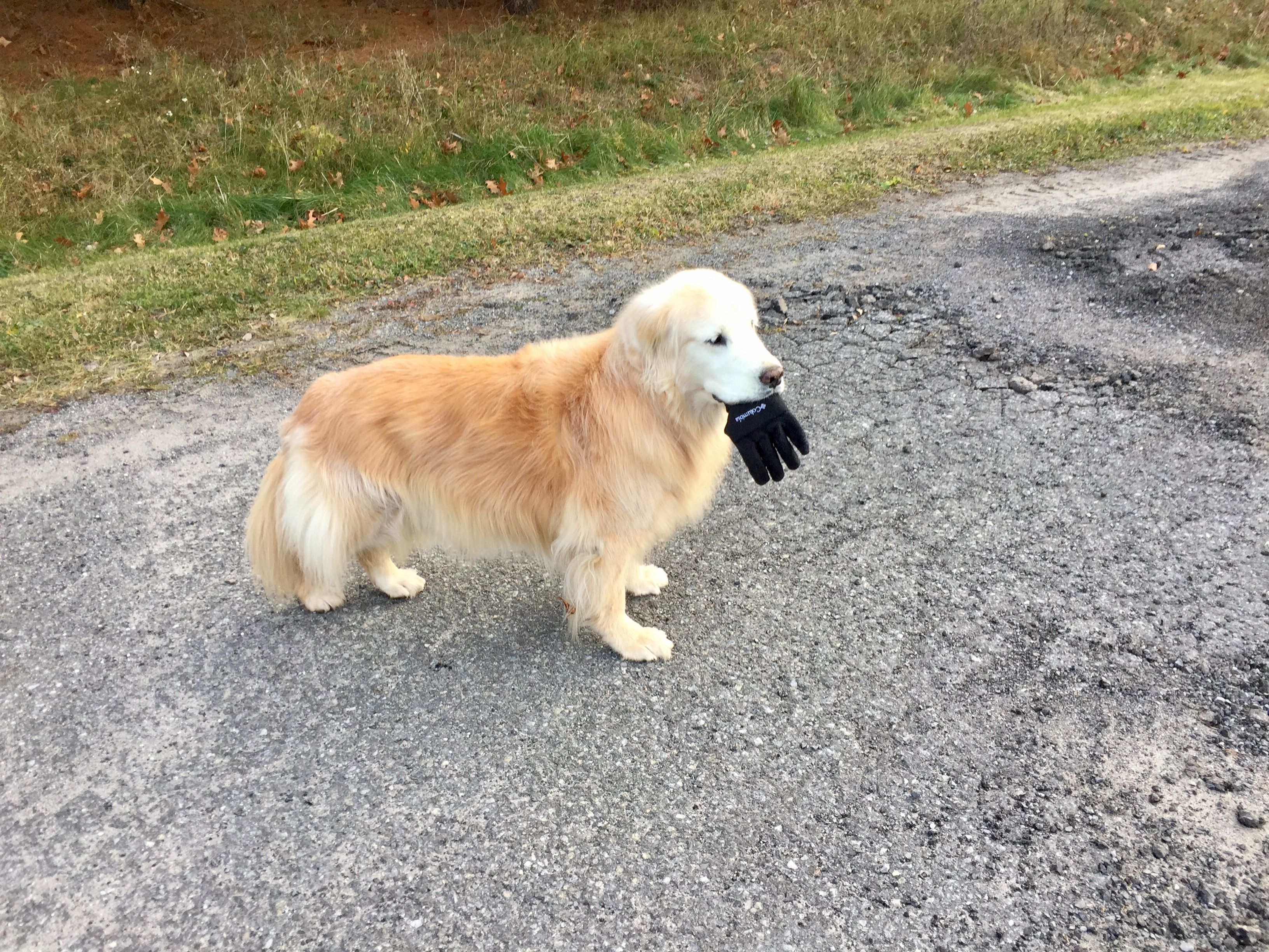 Glove Stealing Golden Dogs, Golden retriever, I love dogs