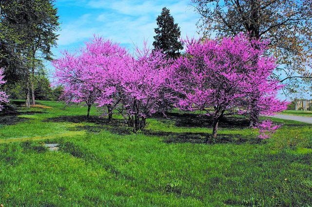 Redbud Trees Flowering Trees Lawn Garden Front Yard Landscaping