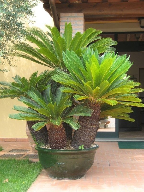 potted king sao palm tree tropical flowers gardens pinterest palm sago palm and plants. Black Bedroom Furniture Sets. Home Design Ideas