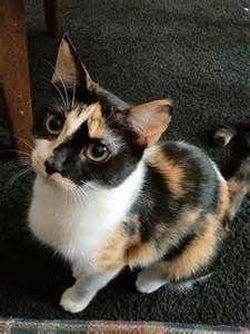 Calico American Shorthair Cat Bing Images American Shorthair