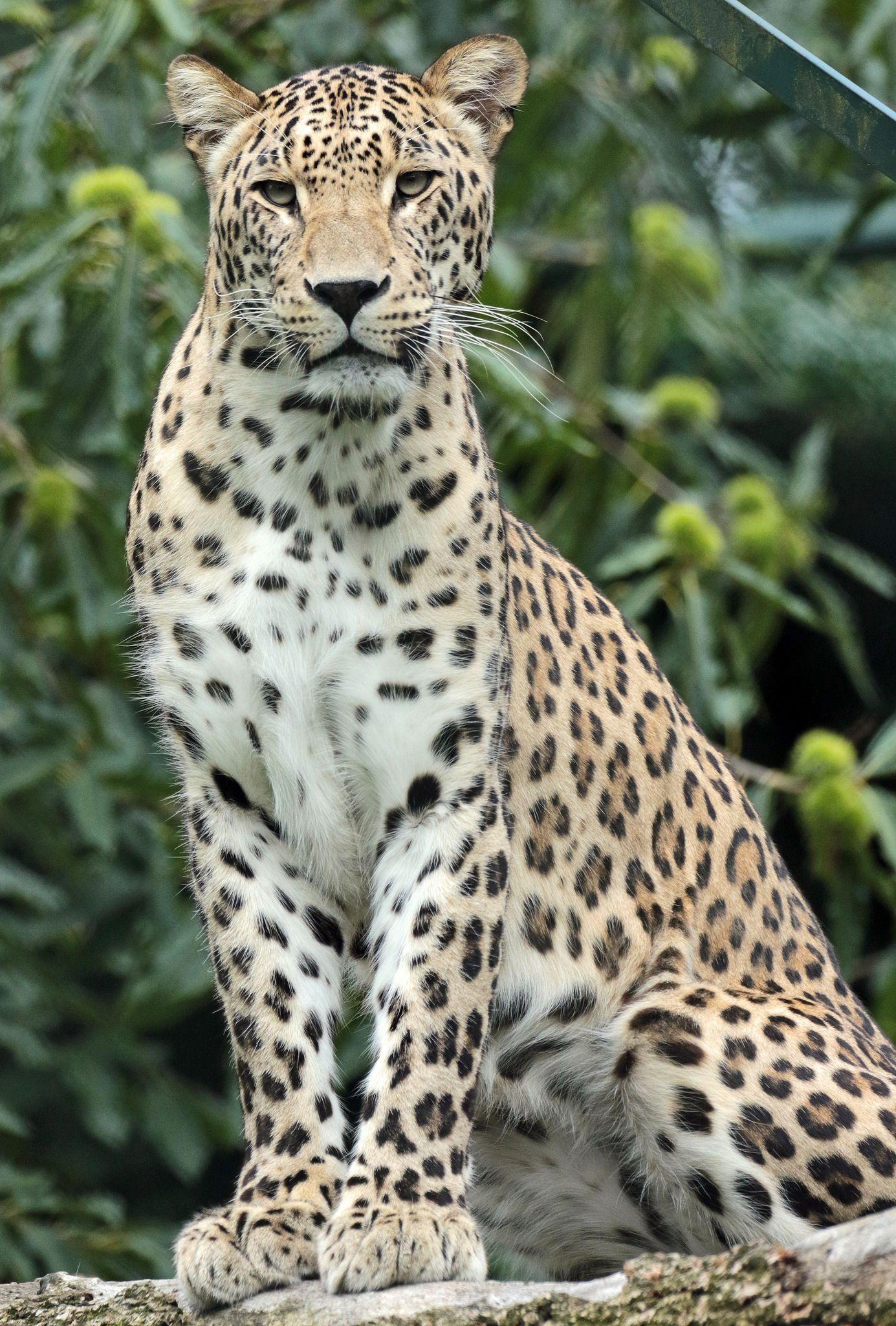 Pin on Felinidae--Leopards