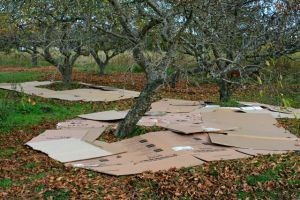Cardboard mulch in orchard - does it work?