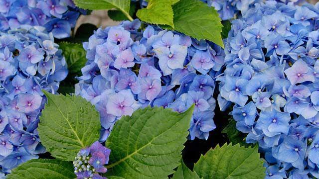 Damit Hortensien Blau Blühen, Kann Man Einfach Nachhelfen. (Quelle