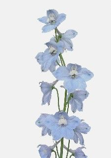 Delphinium Belladonna Light Blue