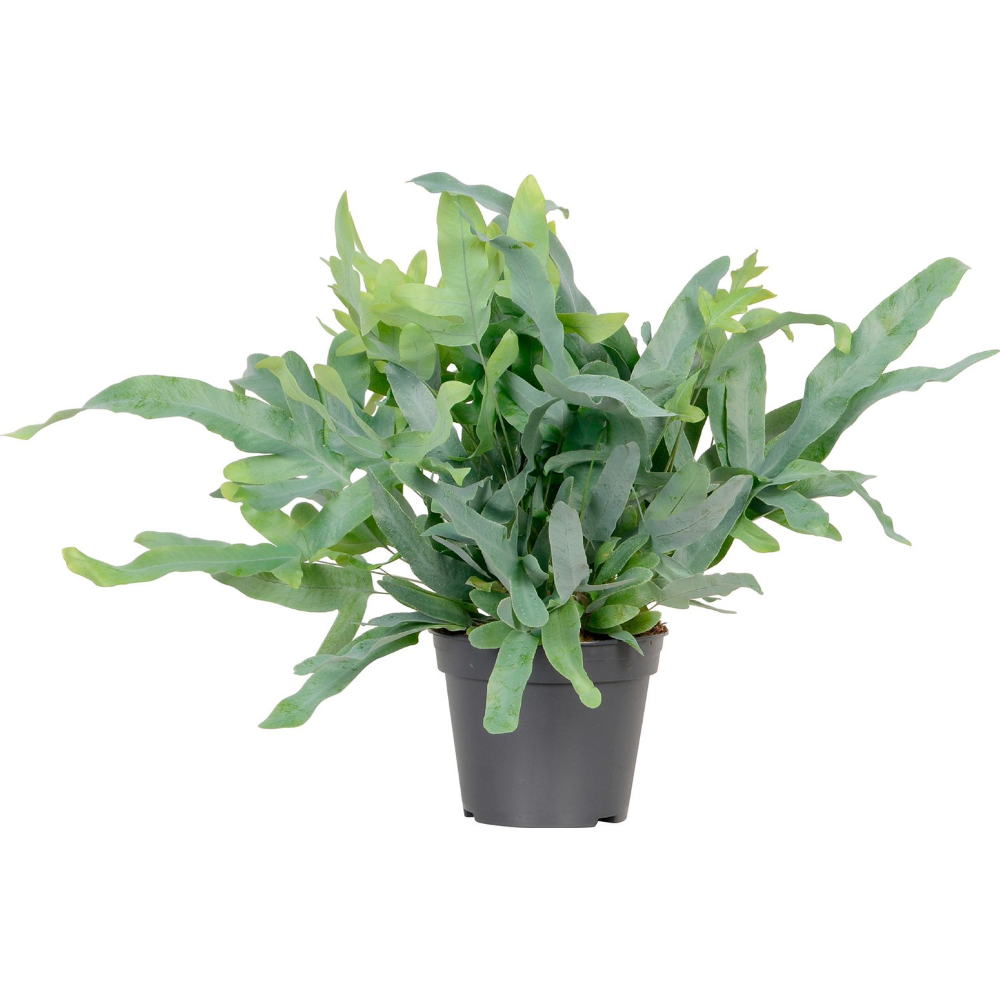 Phlebodium Aureum Blue Star Priemer Kvetinaca Cca 14 Cm Nakupit V Obi In 2020 Blue Star Indoor Plants Plants