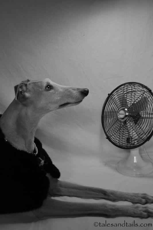 Hound Noir Greyhound Pictures Italian Greyhound Greyhound