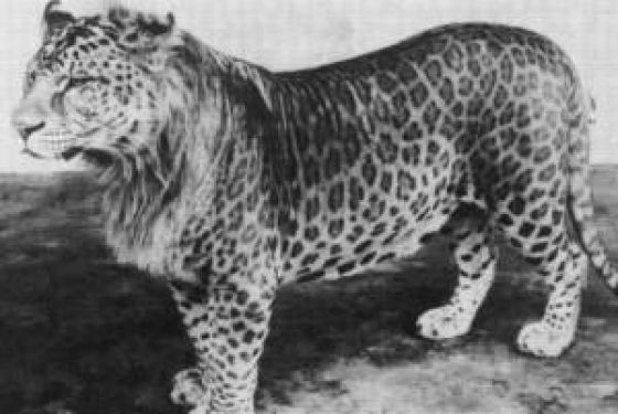 Leopon (male leopard & female lion hybrid) - Apparently a leopard ...