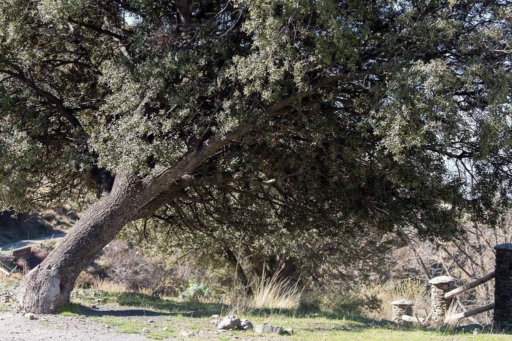 Zo'n scheve boom - daar kun je niet aan voorbij lopen zonder een foto te maken. #willemlaros.nl #flickr #photography #travelphotography #traveller #canon #snpnatuurreizen #canon_photos #fotoreis #travelblog #reizen #reisjournalist #travelwriter#fotoworkshop #reisfotografie #landschapsfotografie #follow #alpujarras #capileira #granada #spanje #fb