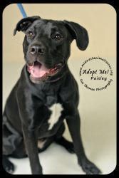 Paisley is an adoptable Black Labrador Retriever Dog in Minneapolis, MN.       Can you spare a buck for a poor dog down on his luck? ...  ...