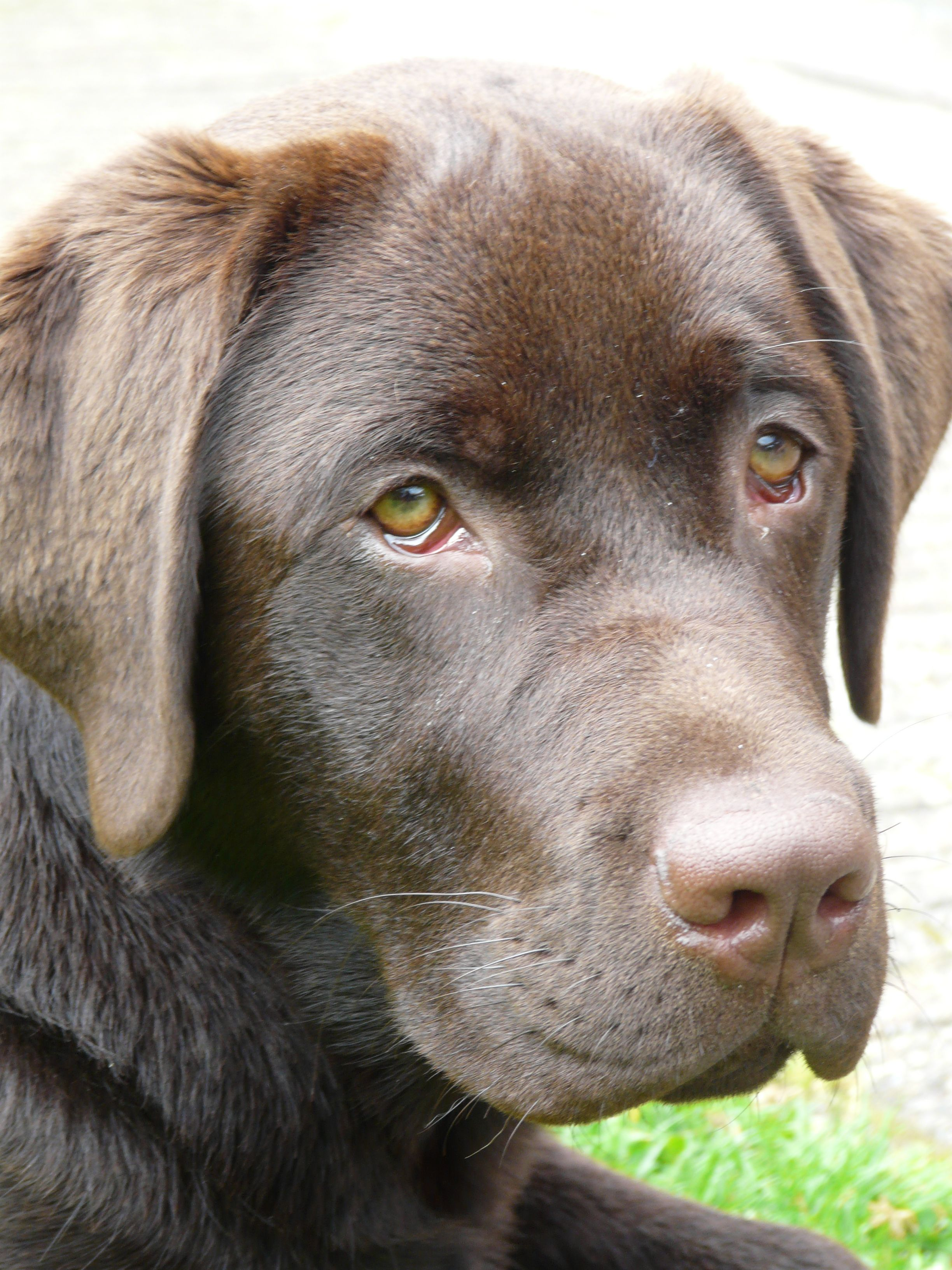 Pin By Rose Irvine On Onze Bo Our Bo Labrador Retriever Labrador Lab Dogs