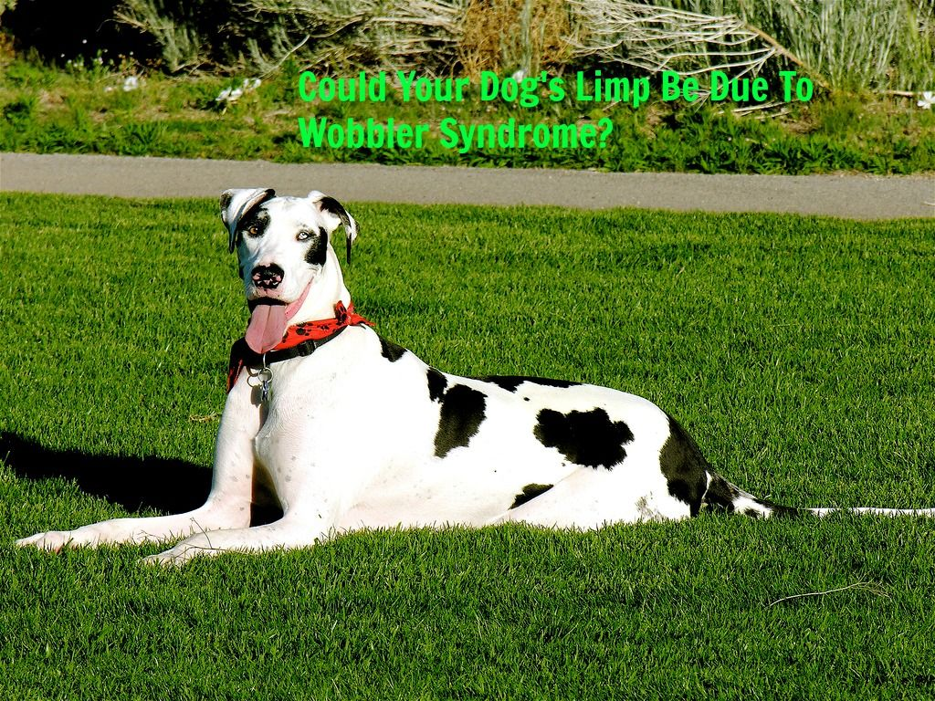 Could Your Dog S Limp Be Due To Wobbler Syndrome Dog Health