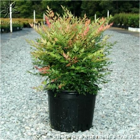 Gulf Stream Nandina Heavenly Bamboo Nandina Domestica Evergreen Small White Flowers Red Berries And Outdoor Gardens Backyard Landscaping Porch Garden