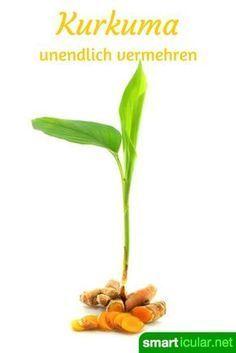 Heilsames Kurkuma selbst anbauen und vermehren #orchideenpflege
