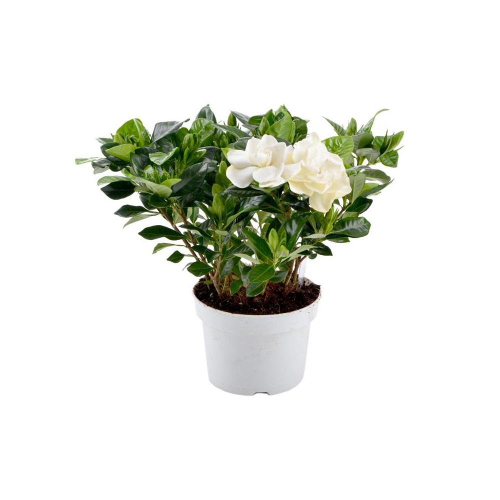 Gardenia 30 Cm Kwiaty Doniczkowe W Atrakcyjnej Cenie W Sklepach Leroy Merlin Gardenia Plants Planter Pots