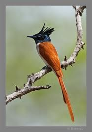 The Asian Paradise Flycatcher: This spectacular beauty, 19-22 cm long migrates between Southern India and the Himalayas.