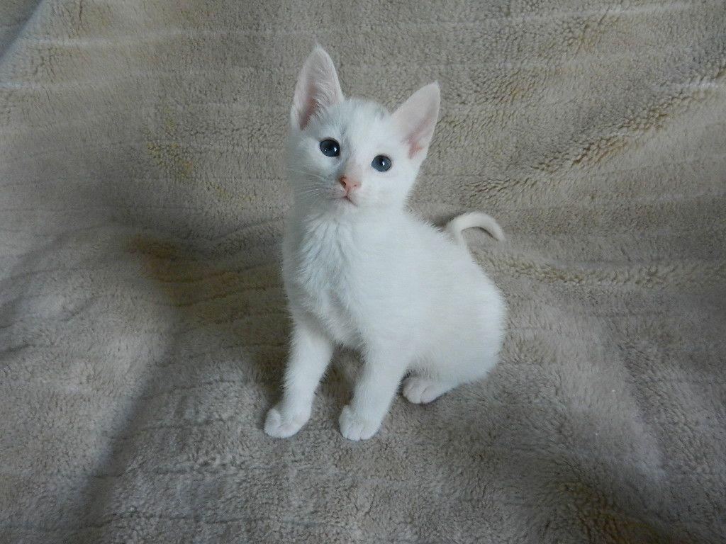 ♥CCG♥ 140 RUSSIAN WHITE KITTEN CAT GALLERY II