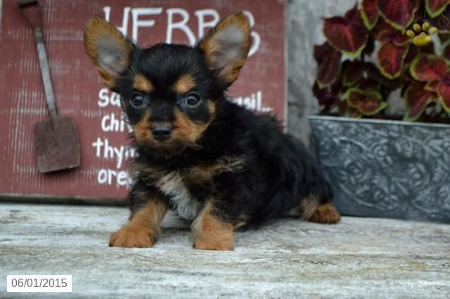 Alex Yorkshire Terrier Puppy For Sale In Sugarcreek Oh Yorkshire Terrier Puppies Yorkshire Terrier Puppies For Sale