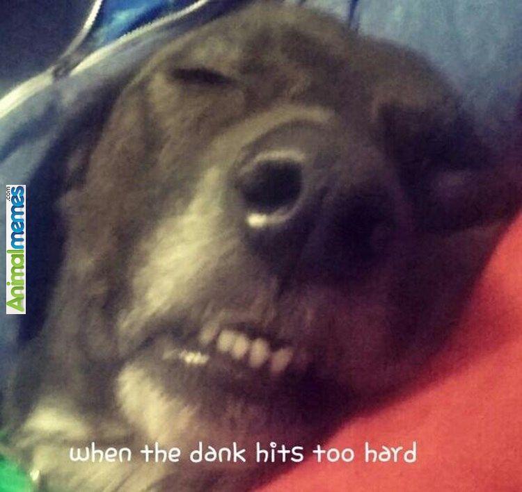 8e2f975967a6156571552f1c65a33de2 dog memes when the dank hits too hard dog memes pinterest