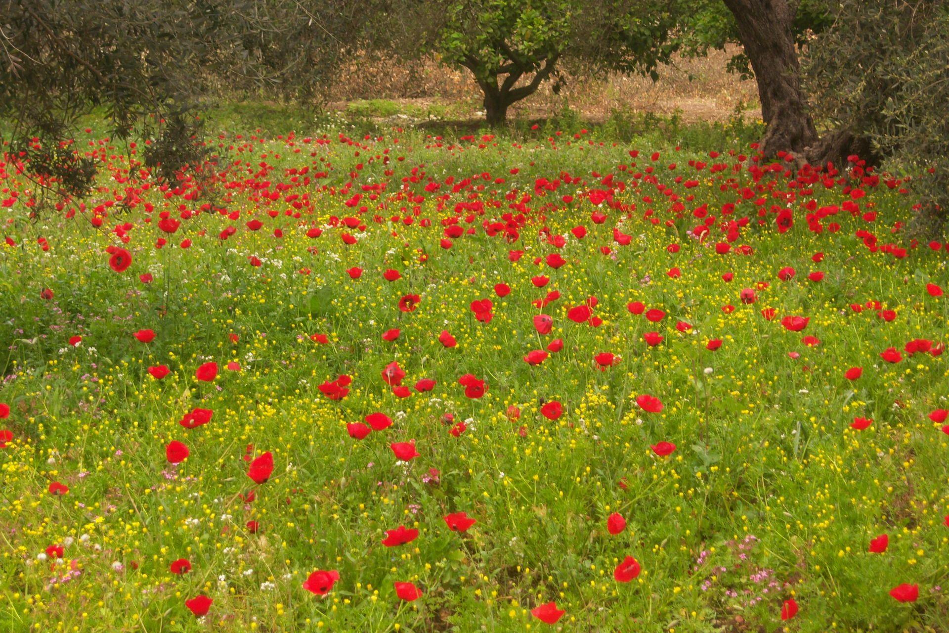 زيتا طولكرم جمالية فصل الربيع في احد سهول ب Www Palestineremembered Com1920 1280buscar Por Imagen Zayta زيتا جمالي Landscape Peppercorn Red Peppercorn
