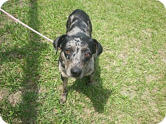 Ocala Fl Catahoula Leopard Dog Patterdale Terrier Fell Mix