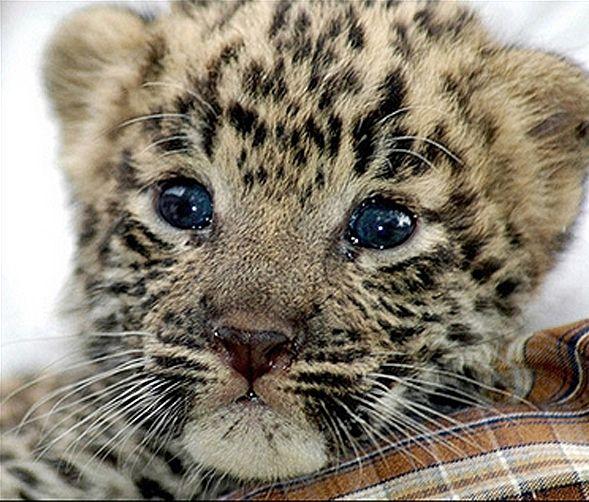 Baby Leopard Animal