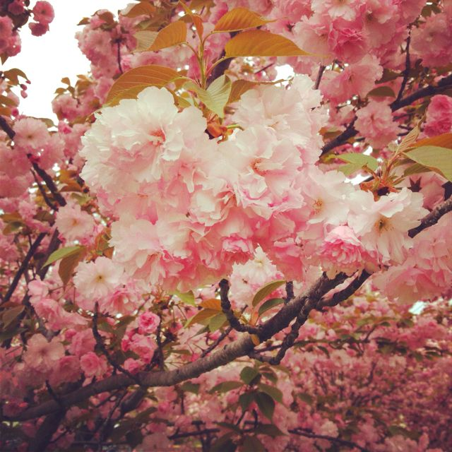 Cherry Blossoms In Dc I Can Just Smell The Sweetl Blossoms Pretty Places Dream Travel Destinations Cherry Blossom Dc
