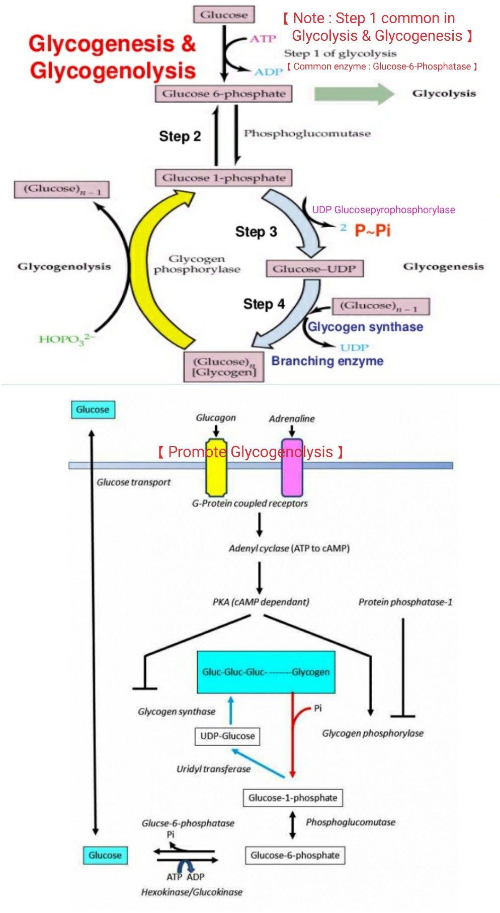 Glycogenesis & Glycogenolysis 【 Note 1st step in