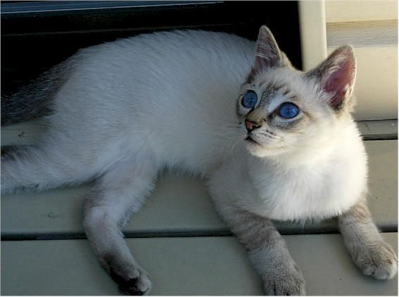 Siamese Like Ash S Nala Cute Cats And Kittens Cats Cats And Kittens