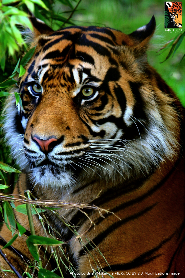 Sumatran Tigers are the last tigers in Indonesia all