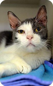 Philadelphia, PA - Domestic Shorthair. Meet DJ, a cat for adoption. http://www.adoptapet.com/pet/15411090-philadelphia-pennsylvania-cat