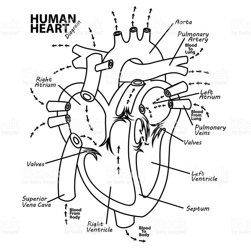 Vector Illustration Of Human Heart Diagram Anatomy Tattoo