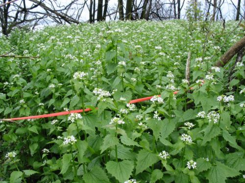 Wild Edible Plants Garlic Mustard Edible Wild Plants Wild Edibles Edible Plants