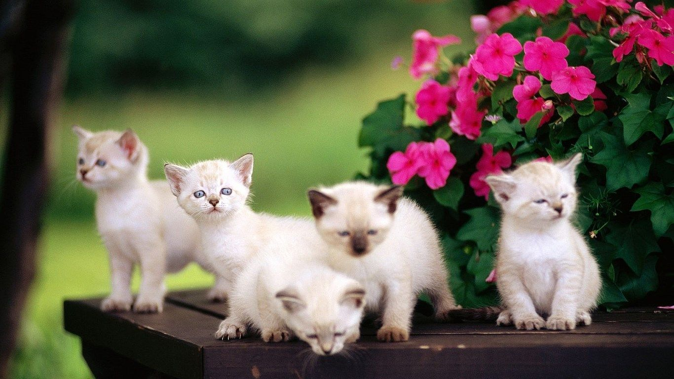 White Cat Wallpapers Hd Cute Baby Cats Kittens Cutest Kitten Wallpaper