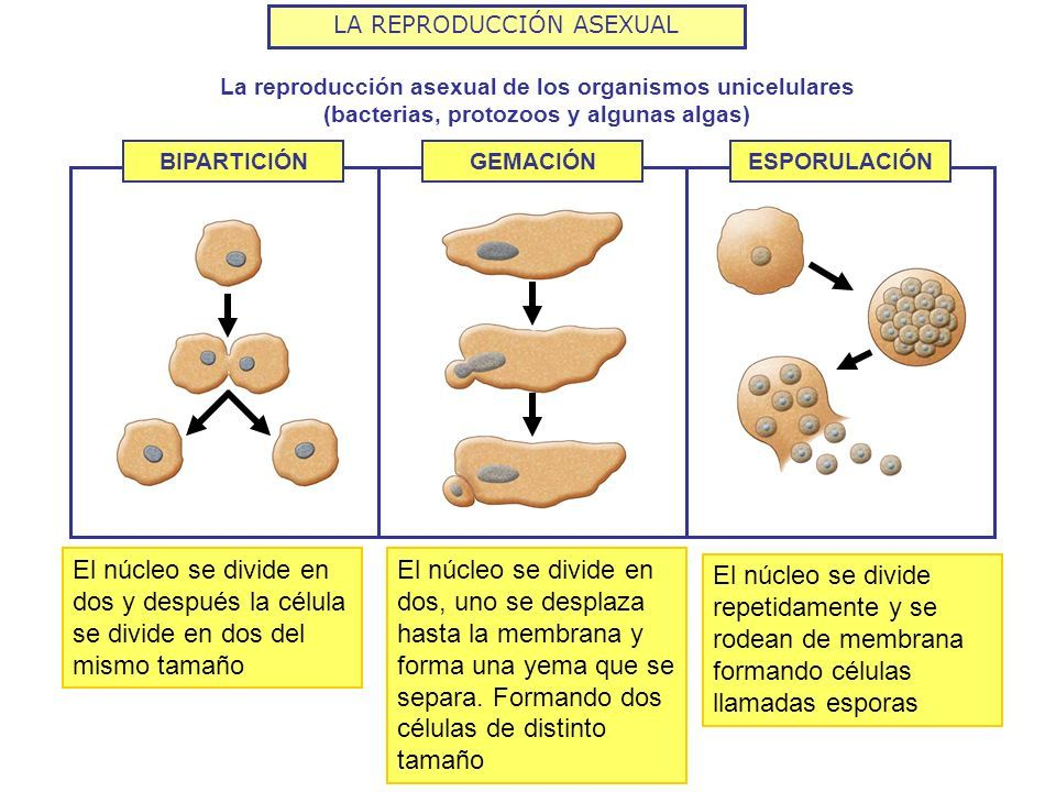 Resultado De Imagen Para Reproducción En Organismos Unicelulares Educacion Infantil Educacion Protozoos