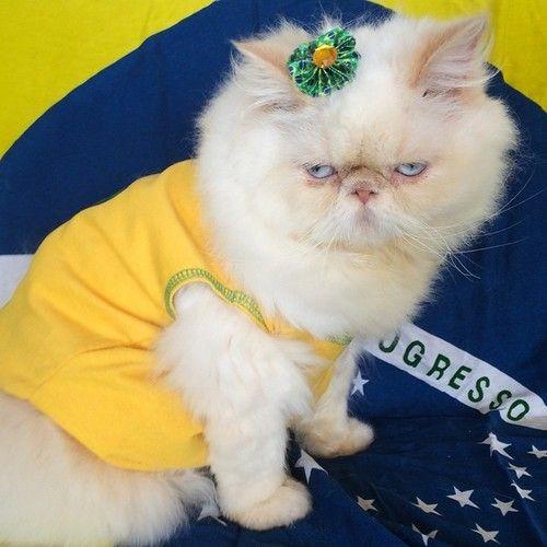 #brasil #worldcup #fashion #kitten #cat #persian #ariesmeow #lordaries #fifa