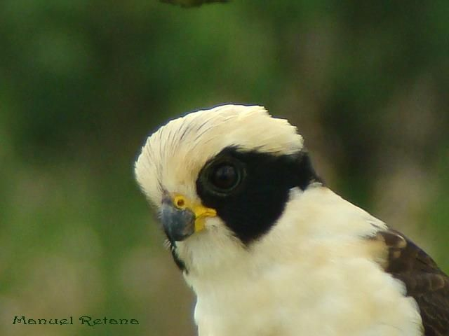 Laughing Falcon (Herpetotheres cachinnans) Close-up of a bird´s head.