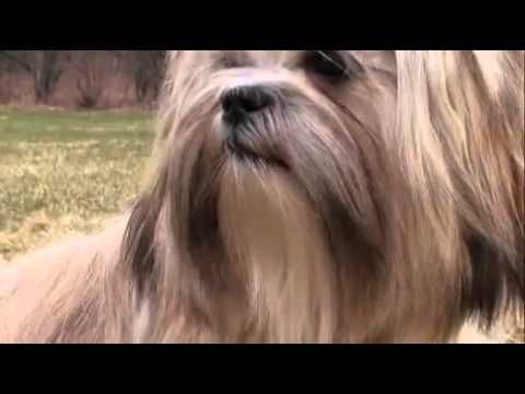 Dogs 101 Lhasa Apso Lhasa Apso Dogs 101 Dogs