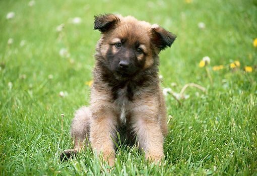 German Shepherd Dog Puppy For Sale In North Bergen Nj Adn 29418