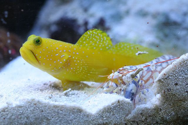Yellow Watchman Goby Cryptocentrus Cinctus And Tiger Pistol Shrimp Alpheus Bellulus Marine Aquarium Fish Saltwater Fish Tanks Marine Fish