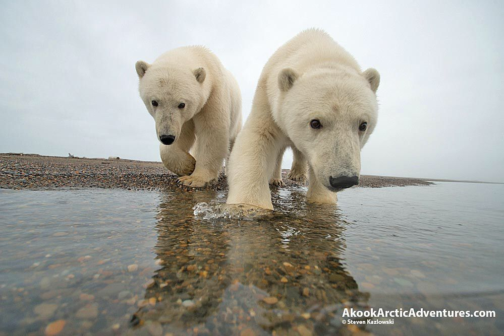 We Offer Polar Bear Viewing And Photo Tours In Arctic Alaska